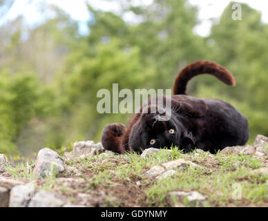 Black leopard rolling on his back in natural habitat. - Stock Photo