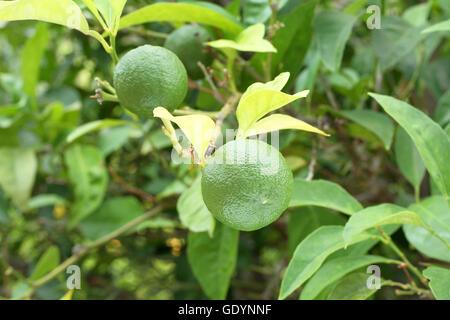 Immature green Yuzu fruit on Japanese lemon bush - Stock Photo