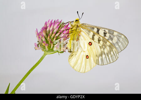 The American Apollo butterfly, Parnassius apollo, on a wildflower near Camp Sherman in the Oregon Cascade Mountains. - Stock Photo
