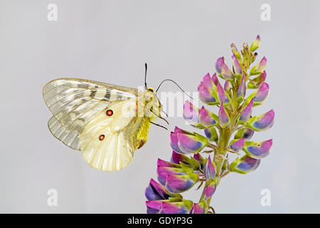 An American Apollo butterfly, Parnassius apollo, searching for nectar from a wild lupin on the Metolius River near - Stock Photo