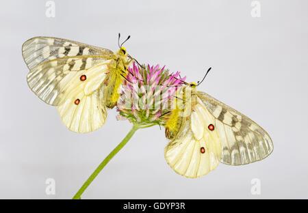 Two American Apollo butterflies, Parnassius apollo, on a wildflower near Camp Sherman in the Oregon Cascade Mountains. - Stock Photo