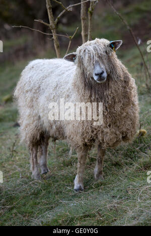 Cotswold Lion breed of sheep, Cotswolds, Gloucestershire, England, United Kingdom, Europe - Stock Photo