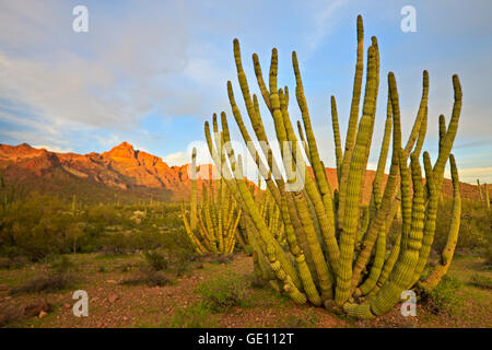 geography / travel, USA, Arizona, Organ pipe Cactus, Ajo Range Mountains, Organ Pipe National Monument, Arizona, - Stock Photo