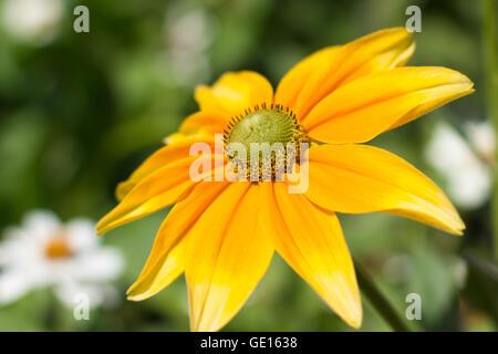 Rudbeckia hirta , yellow summertime flower - indian summer - Stock Photo