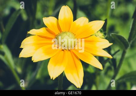 Rudbeckia hirta , yellow flower - coneflower - Stock Photo