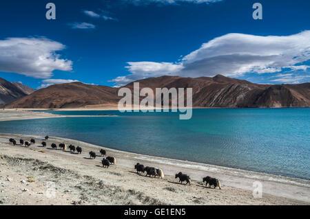 Yak Caravan Near Bank of Pangong Tso, Ladakh, India - Stock Photo