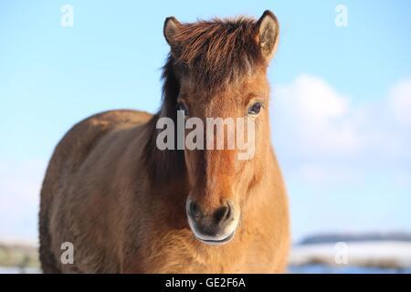 Icelandic horse Portrait - Stock Photo