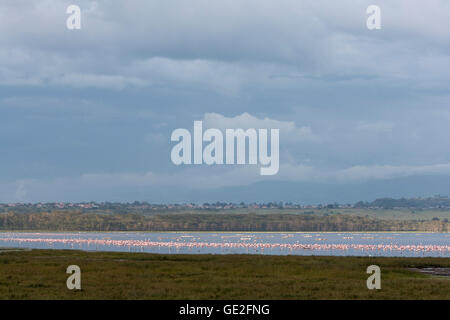 Lake Nakuru in Kenya goes pink with the Lesser and Greater flamingos volcanic Ash The great Rift - Stock Photo