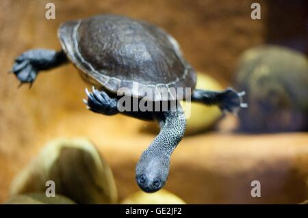 snake-necked turtle - Stock Photo