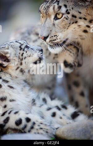 snow leopards - Stock Photo