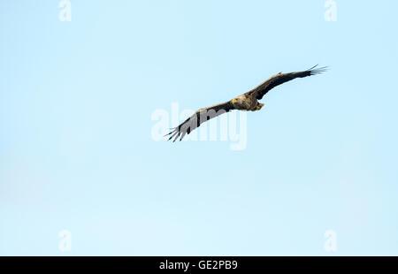 White-tailed eagle (Haliaeetus albicilla) in flight - Stock Photo