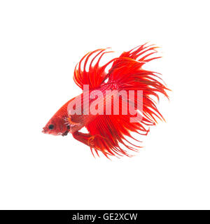 orange red siamese fighting fish, betta splendens isolated on white background - Stock Photo
