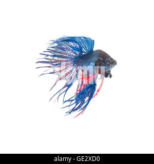 Blue siamese fighting fish, betta splendens isolated on white background - Stock Photo