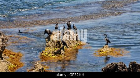 Flock of large black and white Pied Cormorants on the coastal limestone formations at Point Peron in Western Australia. - Stock Photo