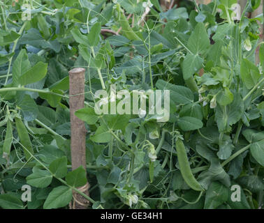 Home Grown Organic Pea Plants (Pisum sativum) Growing on an Allotment in a Vegetable Garden in Rural Devon, England, UK