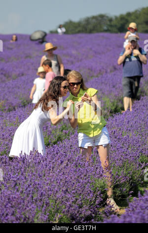 Banstead, Surrey, UK. 23rd July 2016.  Colourful scenes at the lavender fields near Banstead, Surrey, where two - Stock Photo