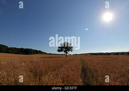 Epsom, Surrey, UK. 23rd July 2016.  The sun shines on a ripening field of wheat in Epsom, Surrey, England on a beautiful - Stock Photo
