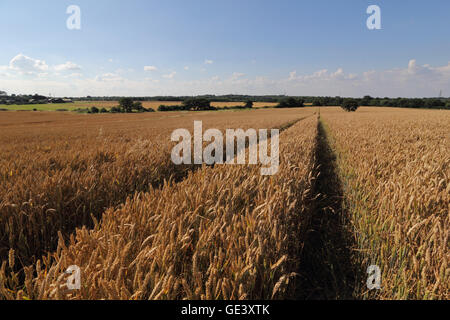 Epsom, Surrey, UK. 23rd July 2016.  Clear blue skies over a ripening field of wheat in Epsom, Surrey, England on - Stock Photo
