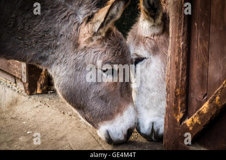 Two donkeys cuddling to each other in a barn on a farm - Stock Photo