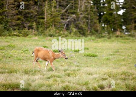Deer grazes in the meadow.