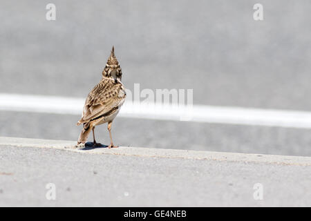 Crested Lark (Galerida cristata). Russia, Sochi (Adler). - Stock Photo