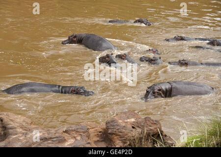 Hippos swimming in Mara River, Masai Mara, Kenya - Stock Photo