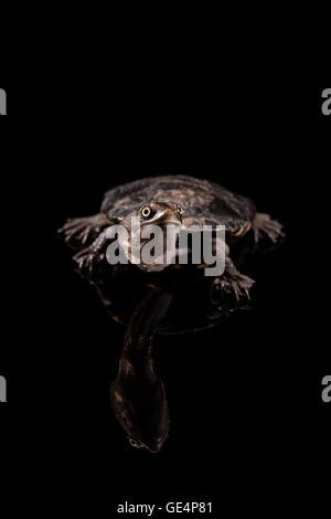 Baby Eastern Long-Necked Turtle looking upwards - Stock Photo