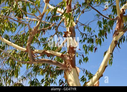 Detail of a peeling eucalyptus tree with smooth white and red bark and green leaves under a clear blue sky in Australia. - Stock Photo