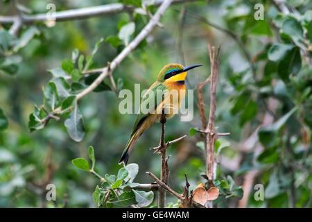 Tanzania, lake Manyara NP, Little Bee-eater, Merops pusillus - Stock Photo