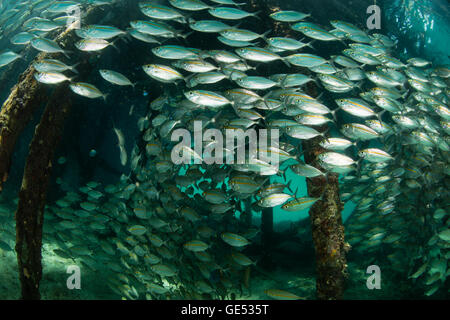 A large school of Yellowstripe scad (Selaroides leptolepis) swims beneath a pier in the remote region of Raja Ampat, - Stock Photo