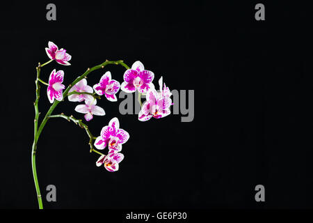 detail purple and white orchid isolated on black backdrop - Stock Photo