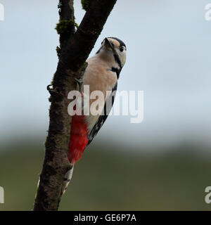 Great Spotted Woodpecker, also known as Greater Spotted Woodpecker or simply Woodpecker perched - Stock Photo