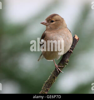 Female Chaffinch perched on a bare stick - Stock Photo