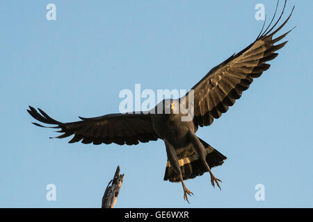 African harrier hawk in flight - Stock Photo