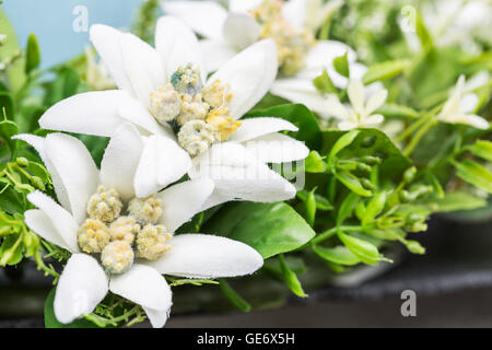 Closeup of Swiss mountain flowers Edelweiss. - Stock Photo