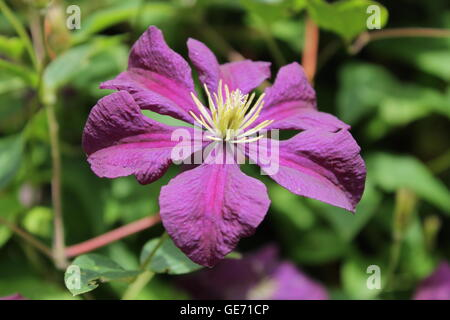 Summer flowers, summer, gardening, Burrows Gardens Derbyshire, climbers, scent, flowers, bouquet - Stock Photo