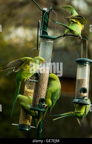 Rose-ringed or Ring-necked parakeets [Psittacula krameri] on bir dfeeders in urban garden.  London, Uk. - Stock Photo
