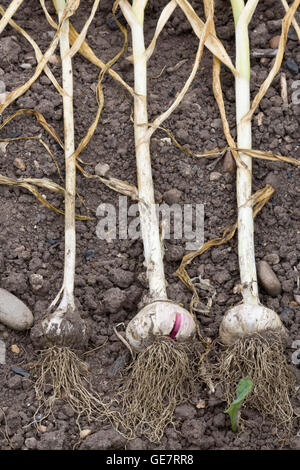 Harvested Garlic drying out in the soil - Stock Photo
