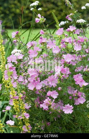 Malva alcea, hollyhock mallow flowering in a Country garden - Stock Photo