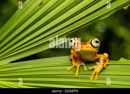 Imbabura Treefrog (Hypsiboas pictuator), Amazon rainforest, Canande River Reserve, Choco forest, Ecuador - Stock Photo