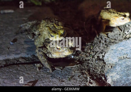 Wien, Vienna: Common toads ( Bufo bufo ) on their nightly walk to the spawning grounds , a female carries a male, - Stock Photo