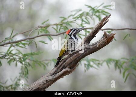 Black Rumped Woodpecker - Stock Photo