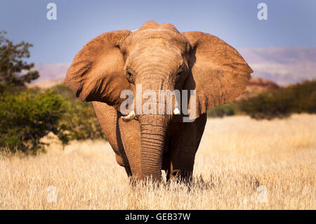 Elephant in the savannah, in Namibia, Africa, concept for traveling in Africa and Safari - Stock Photo