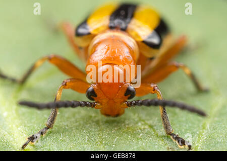 A frontal view of a Three-lined Potato Beetle (Lema daturaphila) on a leaf. - Stock Photo