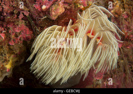 Feather duster worm Protula bispiralis. Depth 20m. - Stock Photo