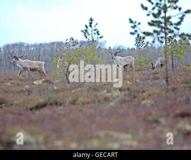 Northern reindeers (European reindeer, Rangifer tarandus) and short-eared owl (Assia flammeus) - Stock Photo
