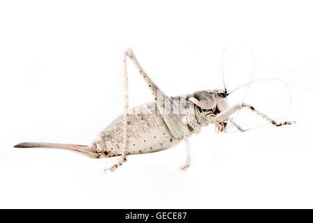 locust on white background. Close up. - Stock Photo