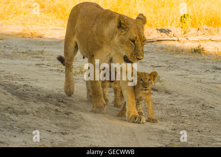 Lionesses and cubs playing and feeding - Stock Photo