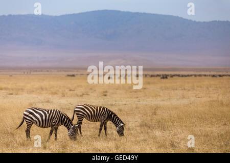 Grazing Zebras in the Ngorongoro Crater in Tanzania. - Stock Photo