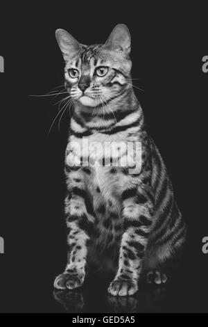 Beautiful bengal cat - Stock Photo